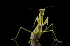 Giant Asian Praying Mantis Stock Photography