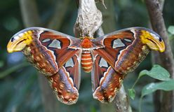 Giant Atlas Moth. Is a butterfly coming out only at night Royalty Free Stock Photo