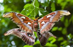 Giant Atlas Moth Royalty Free Stock Photography