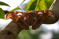Giant Atlas Moth Stock Photo