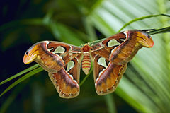 Free Giant Atlas Moth Stock Image - 6168701