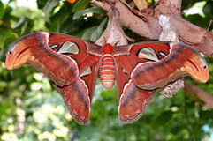 Giant Atlas Moth,aka,Attacus atlas Stock Photo