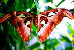 Giant Atlas Moth. Asian Giant Atlas moth (Attacus atlas&#x29 stock image