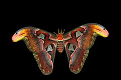 Giant Atlas Moth (attacus atlas) Stock Photography