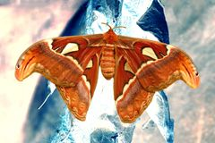 Giant atlas moth Attacus atlas / saturniid moths / butterfly on a tree stock photos
