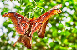 Giant Atlas Moth. Is a butterfly coming out only at night stock photography