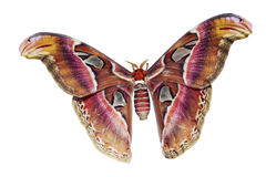 Giant Atlas Moth Cutout Royalty Free Stock Images