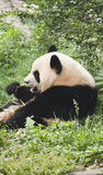 Giant baby panda eating bamboo Stock Images