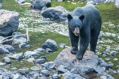 Giant back bear while coming to you. Black bear while coming to you across the creek Royalty Free Stock Image