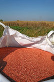 Giant bag of weath seeds. Wheat seeds in the giant bag prepared for sowing Royalty Free Stock Photo