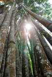 Giant bamboo Stock Photography