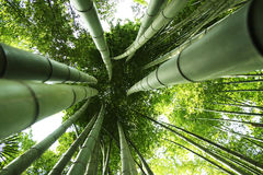 Giant bamboo. Looking up at a clump of giant bamboo royalty free stock photo