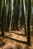 Giant bamboo forest Stock Photo