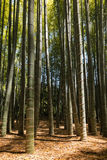Giant bamboo forest Stock Image
