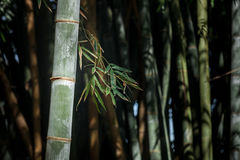 Giant bamboo forest in Kandy botanical garden, Sri Lanka Stock Images