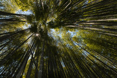 Giant bamboo growing in forest Royalty Free Stock Image