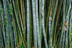 Giant Bamboo In The Royal Botanical Gardens, Kandy, Sri Lanka Royalty Free Stock Photos