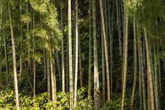 Giant bamboo stems growing in forest Royalty Free Stock Photos