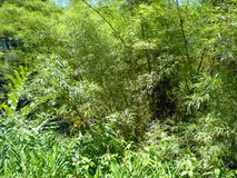 Giant Bamboo Tree and Leafy Green Vegetation Royalty Free Stock Photo
