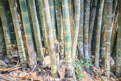 Giant bamboo tree trunks (Dendrocalamus giganteus), also known a Royalty Free Stock Image