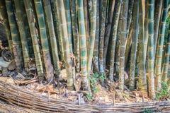 Giant bamboo tree trunks (Dendrocalamus giganteus), also known a Stock Photos