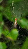 Giant Banana Spider. A giant banana spider on its silk web royalty free stock image
