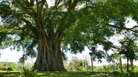 Giant Banyan Balete Tree