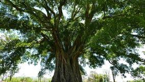 Giant Banyan Balete Tree  stock video footage