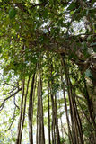 Giant Banyan Tree Aerial Roots Stock Photos