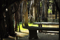 Giant banyan tree grove in Thailand. Sai-Ngam,hundreds years old Giant banyan tree grove in Thailand, a great Nature's structure Royalty Free Stock Photo