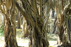 Giant banyan tree grove in Thailand. Sai-Ngam,hundreds years old Giant banyan tree grove in Thailand, a great Nature's structure Stock Image