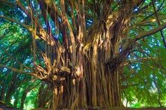 Giant banyan tree Stock Photos