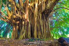 Giant banyan tree Royalty Free Stock Photos