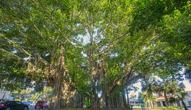Giant Banyan Tree Stock Photography