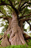 Giant Baobab tree in Senegal, Africa Royalty Free Stock Image