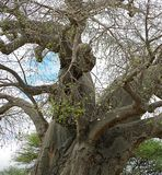 Gigantic green baobab. Giant baobab, baobab trunk close up, trees in Africa, safari in Tanzania, savannah in Africa, old trees, beautiful tree, landscape in Royalty Free Stock Photo