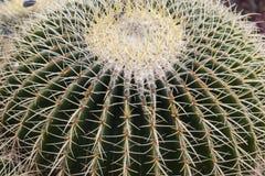Giant Barrel Cactus. Echinocactus platyacanthus is a species of cactus (family Cactaceae stock image