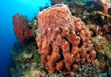 Giant Barrel Sponge Stock Images