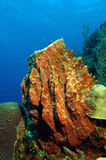 Giant barrel sponge Stock Image