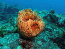 Giant barrel sponge. Underwater view of giant barrel sponge in coral reef royalty free stock photo
