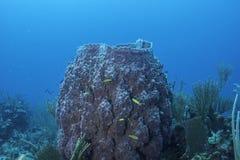 Giant Barrel Sponge Royalty Free Stock Images