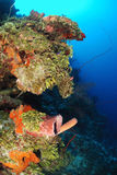 Giant barrel sponge in coral reef Royalty Free Stock Images