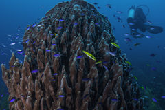 Giant Barrel Sponge. And diver in Belize Barrier Reef. The blue fishes are the blue chromis Royalty Free Stock Photos