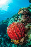 Giant barrel sponge, mushroom leather coral in Banda, Indonesia underwater photo. Xestospongia muta has red color Royalty Free Stock Photo