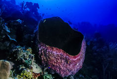 Giant barrel sponge Stock Images