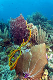 Giant barrel sponge Xestospongia muta Stock Photos