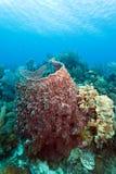 Giant barrel sponge Xestospongia muta Royalty Free Stock Image