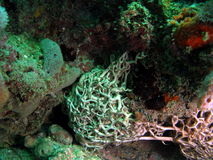 Giant Basket Star. This giant basket star is found in south Florida Stock Photos