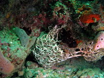 Giant Basket Star. This giant basket star is found in south Florida Stock Photography