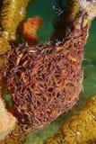 A giant basket star Astrophyton muricatum sea life. A giant basket star, Astrophyton muricatum, underwater marine life, Caribbean sea, Mexico stock images